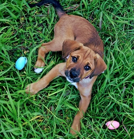 puppy in the grass with two Easter eggs rolling around