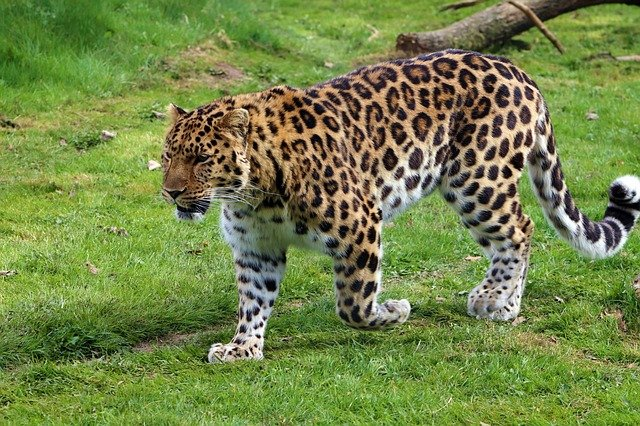 The amur is a subspecies found in southeast Russia. Between 1970 and 1980, due to logging and other habitat destroying acts, the species lost 80% of its habitat.