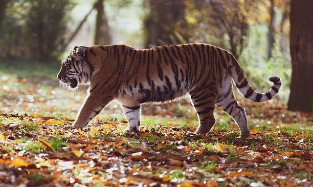 In 2003, 31 tiger skins and hundreds of other cat breeds' were discovered in a shipment out of India.