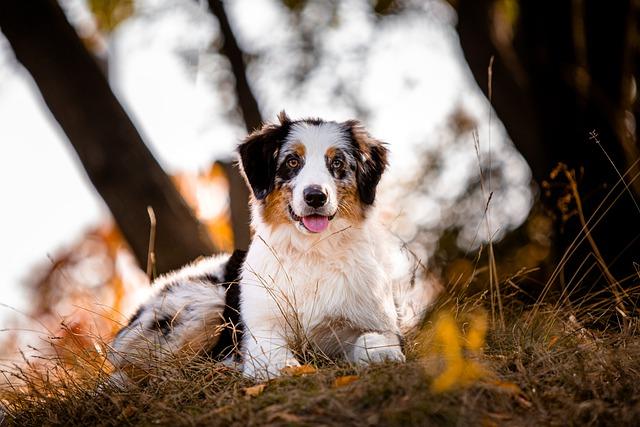 Aussie shepherd in the grass