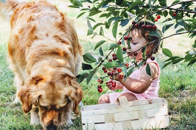 a young girl and labrador eating cherries in the garden
