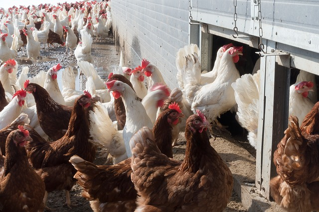 7,000 US farms house over 500,000 chickens