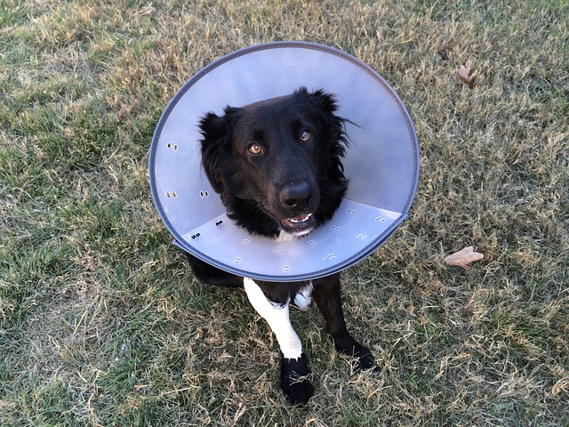 black dog wearing a vet cone on his head, sitting on the grass
