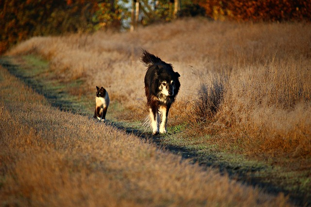 siamese cat and a dog walking together in a country road
