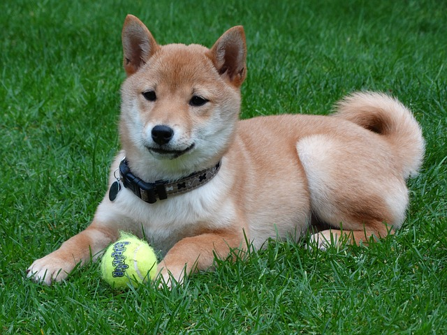 shiba inu playing with tennis ball in the grass