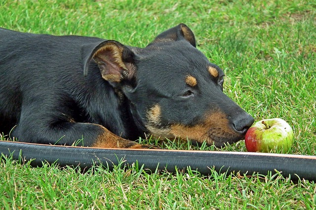 a big black dog playing with an apple in the grass
