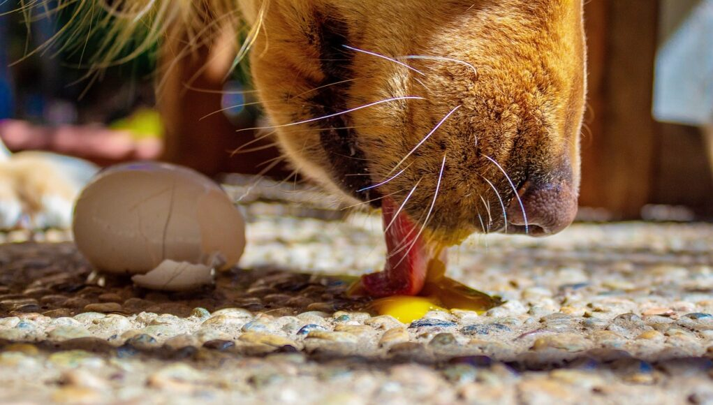 dog licking raw egg from the ground