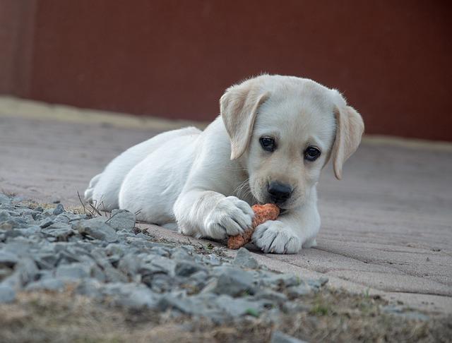 a puppy golden retriever eating a fiber treat