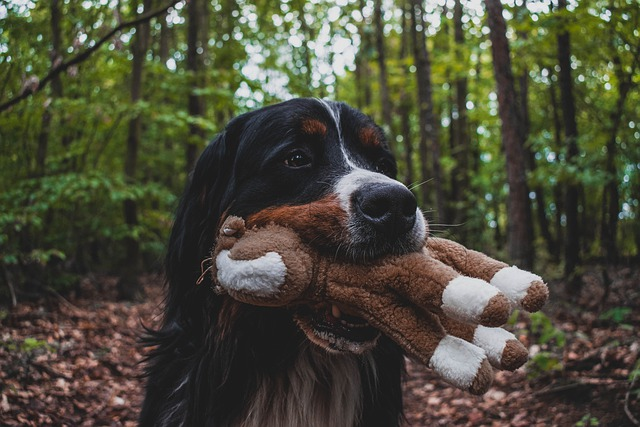 a bernese dog, holding a dog toy in the forest