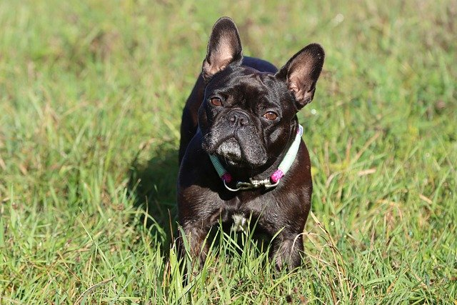 french bulldog is one of the calmest small dogs