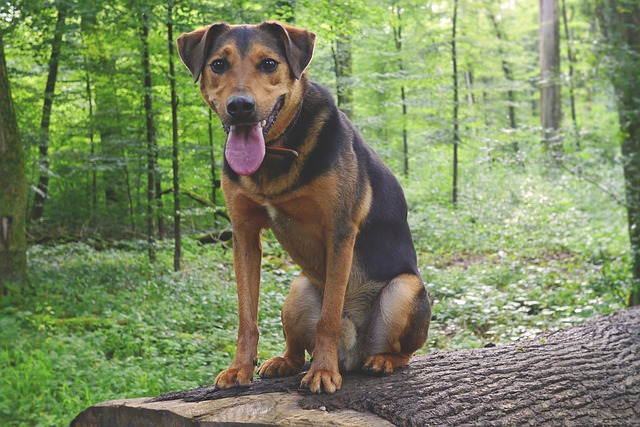 german shepherd-pitbul mix mixed breed dog in the woods