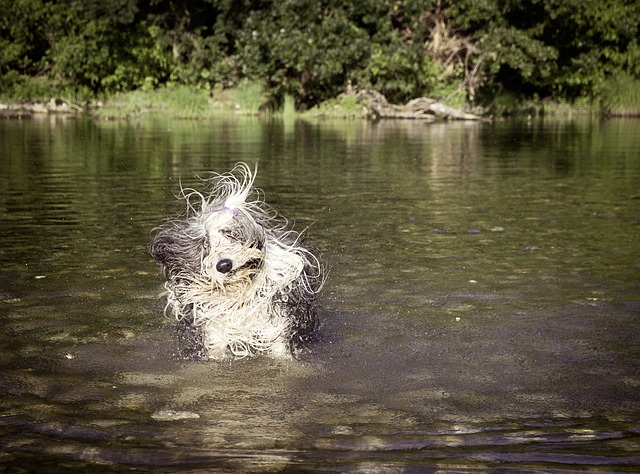 long haired dog bathing in the river