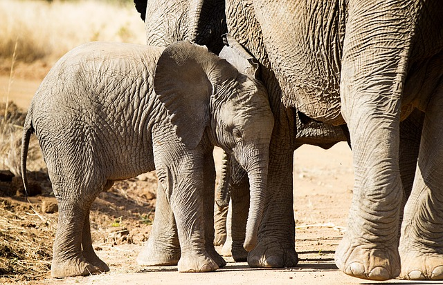 The Elephant Population Has Decreased Over 62% in the Last Decade