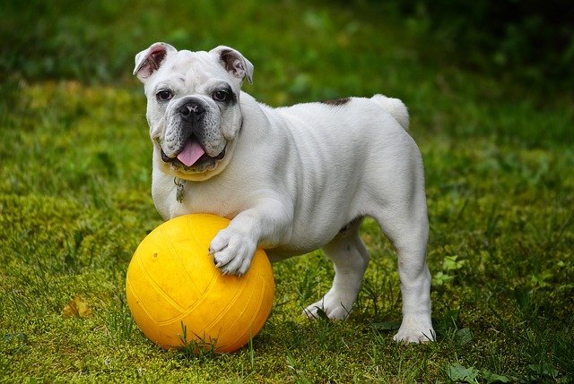 bulldog playing with a yellow volleyball
