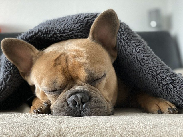 french bulldog relaxing under a blanket