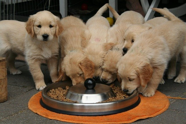 six golden retriever puppies eating dry dog food from a big bow