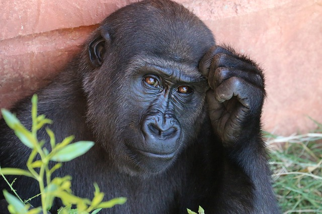In the early 2000s, experts believed the Ebola virus killed over a third of western lowland gorillas.