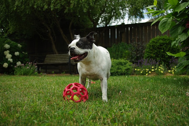 one of the best family dogs - Boston terrier