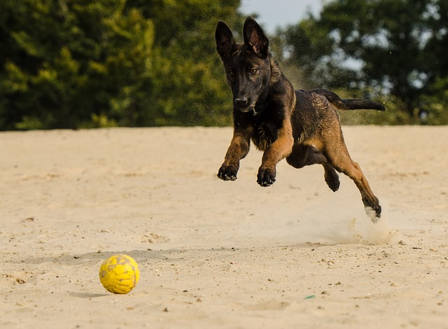 Belgian malinois is one of the best dogs for family protection
