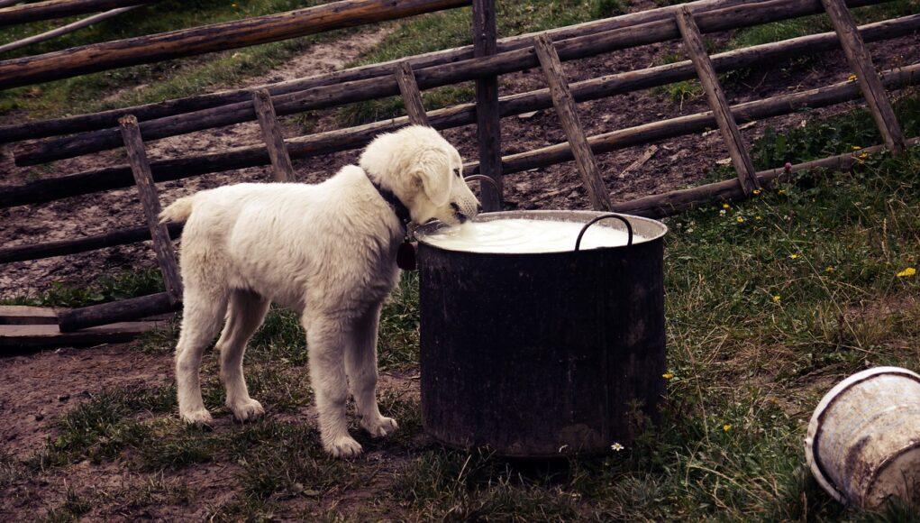 puppy drinking milk from a big pot