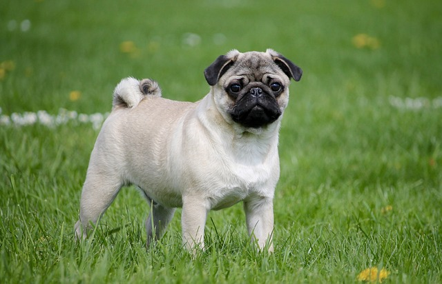 pug breed dog in the grass
