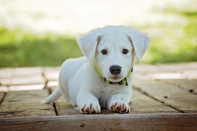 white puppy laying on a wooden floor