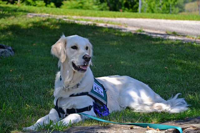 service dog laying on the grass