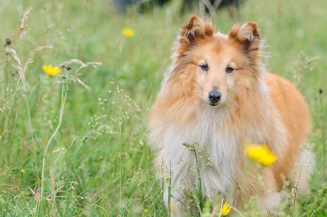 Shetland Sheepdog is one f the calmest medium sized dogs