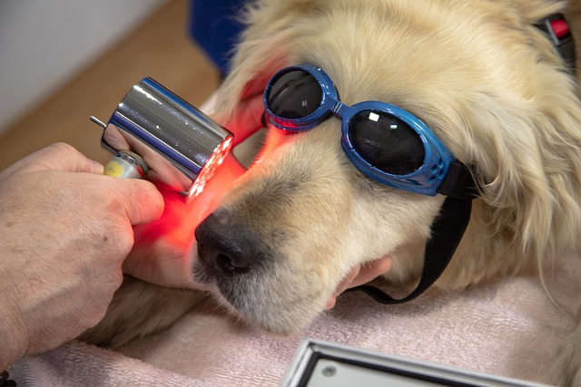 a golden retriever being cured with infrared light
