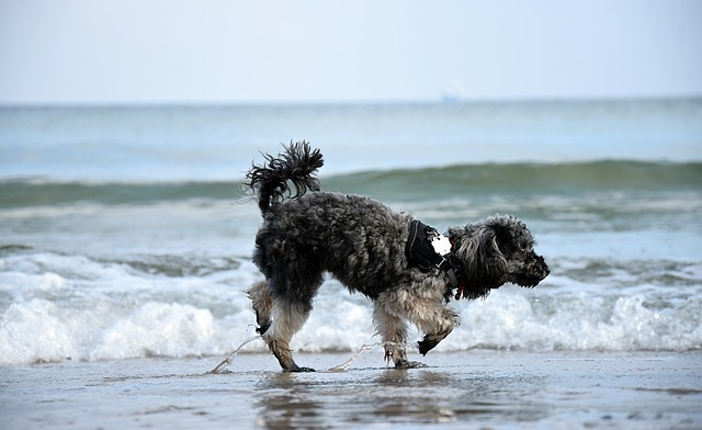 bernedoodle dog running on the beach