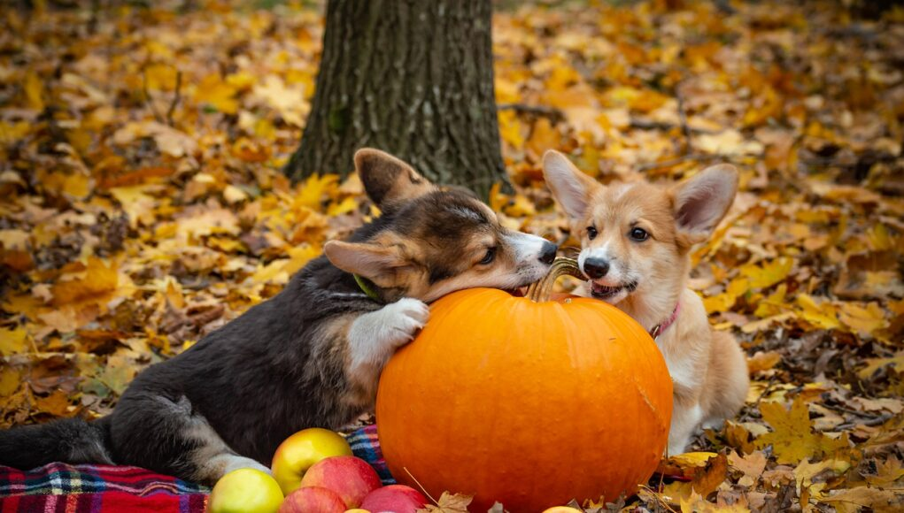 welsh corgi play in the forest with a pumpkin