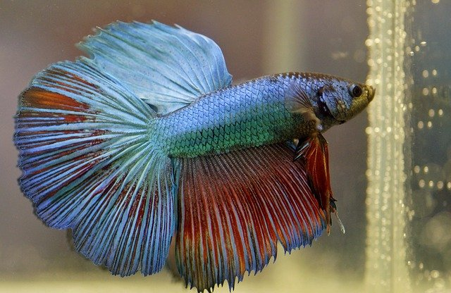 Betta fish should also have the option to breathe from the surface of the water.