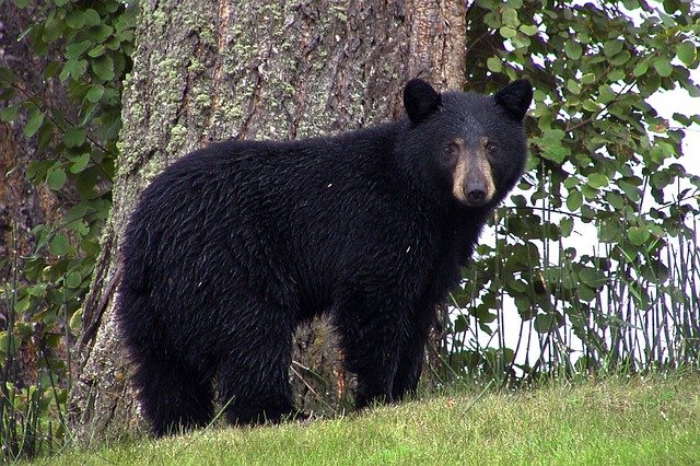 32 US States Are Home to Black and Brown Bears