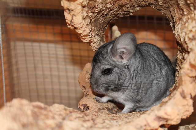 Chinchillas prefer less physical contact and like to dwell in their cages quietly doing their own thing.
