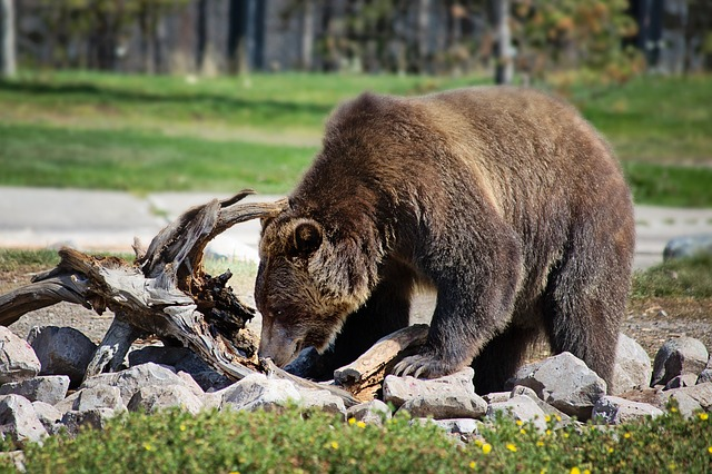bear attacks statistics in the United States are increasing because of the growing human population that pushes the animals out of their habitats
