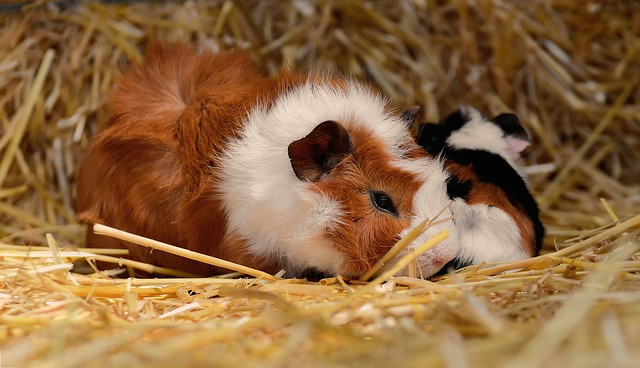 Guinea pigs are incredibly fluffy and affectionate.