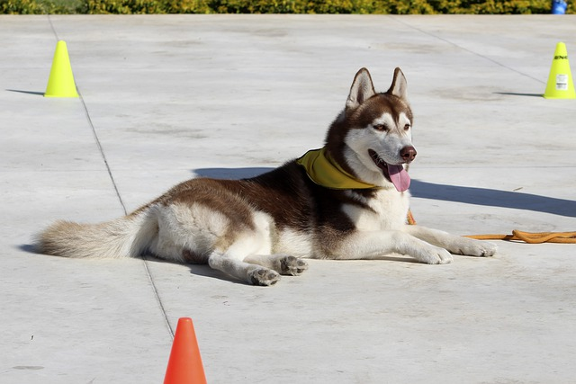 a husky dog relaxing on the training ground
