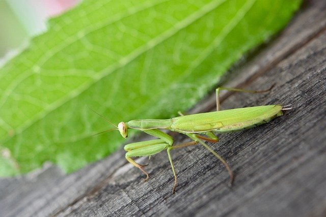 Praying Mantises like to feed on small flies, moths, and you can add the occasional cricket if they're bigger.