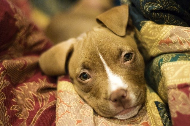 With so many people disliking the breed, Pit Bulls remain in shelters longer than other dogs.
