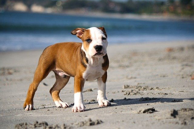 pit bull puppy on the beach