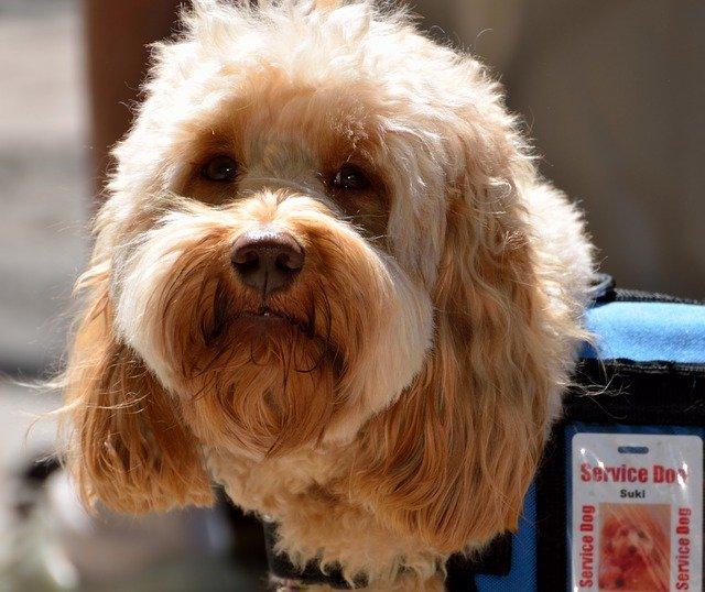 poodle wearing a service dog jacket