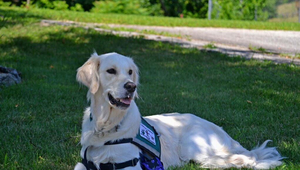 labrador service dog laying on the grass, under a tree shadow