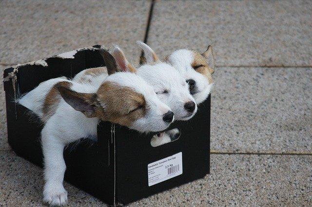 three puppies sleeping in a cardboard box
