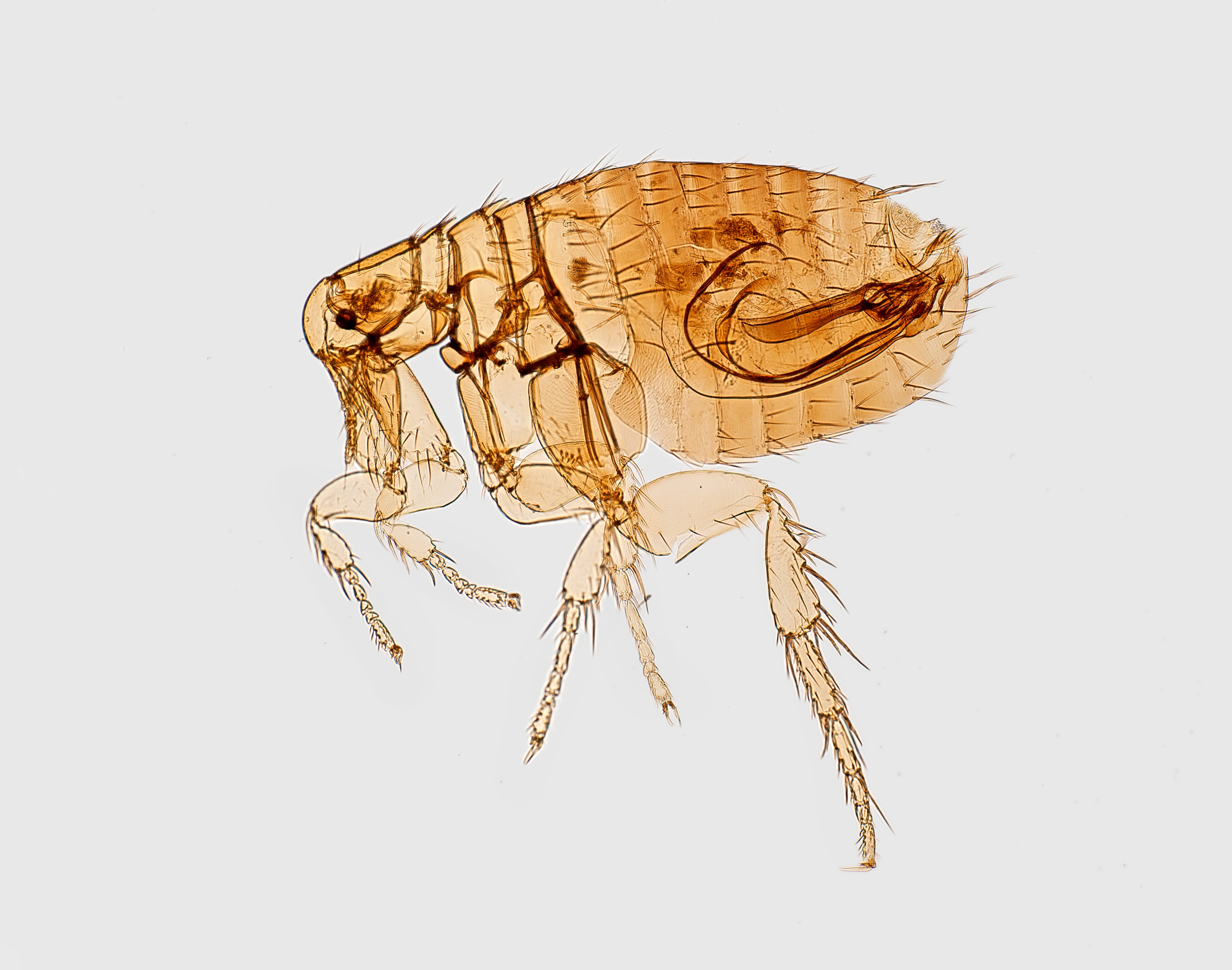 To understand how to get rid of flea eggs effectively, you need to know the different stages of their life cycle