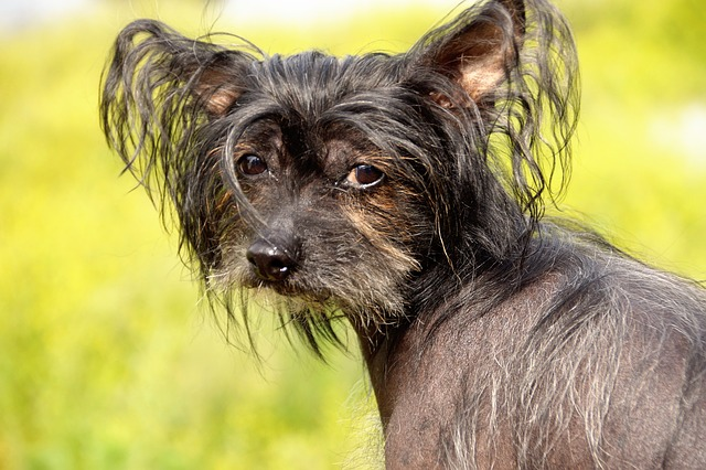 The Chinese crested is one of the least shedding dog breeds.