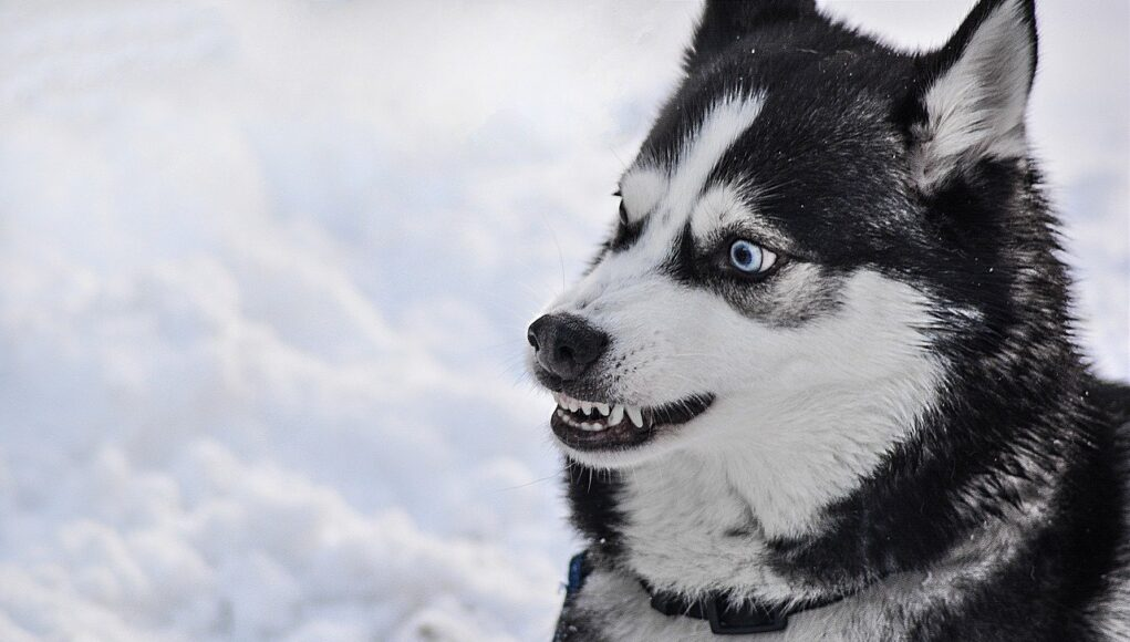 angry dog husky- dog bite statistics cover