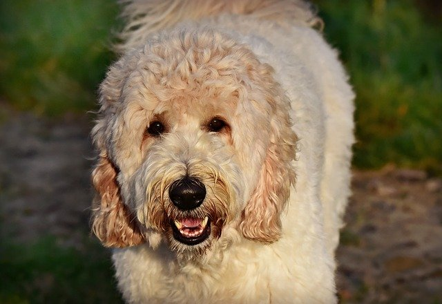 labradoodle mix breed