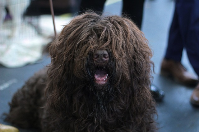 An extremely fluffy dog with hair covering its eyes.