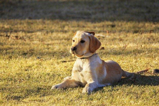 retriever dog breed
