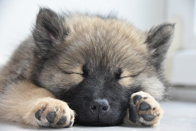 german shepherd puppy sleeping -Teething also affects your puppy's sleep.